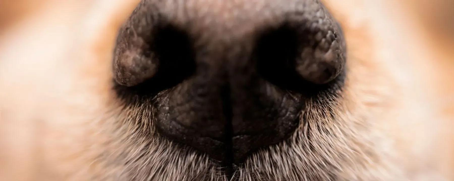 Perros con Covid 19